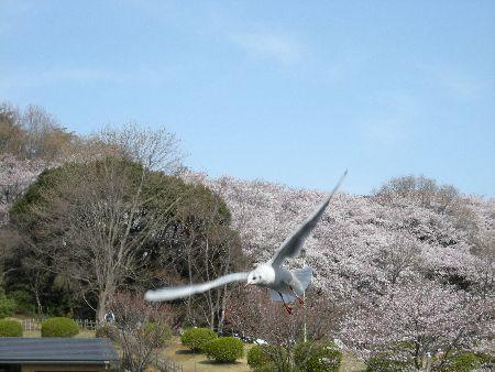 カモメ 桜